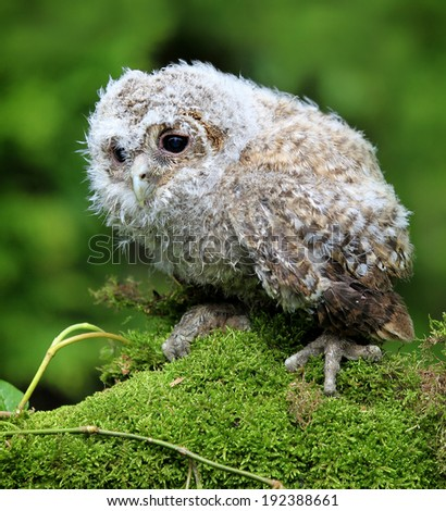 Tawny Owl (Strix aluco) Chick or Owlet sat on moss and ivy covered branch. Taken in Scotland, UK.  - stock photo