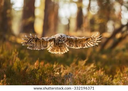 tawny owl wants landing - stock photo