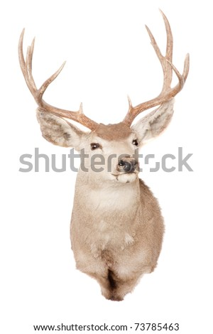 Taxidermied typical Mule deer (odocoilus hemionus) isolated on white