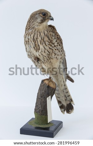 Taxidermy bird with wooden base