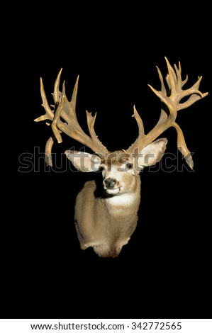 Taxidermy head of a trophy Whitetail deer isolated over black