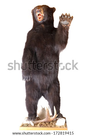 Taxidermy of a North American Black bear - stock photo