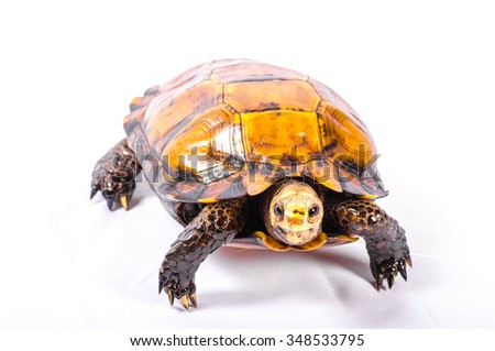 Taxidermy Turtle on White Background - stock photo