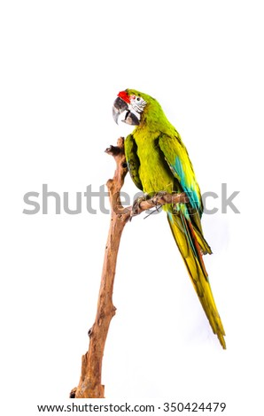Taxidermy Yellow Parrot On White Background