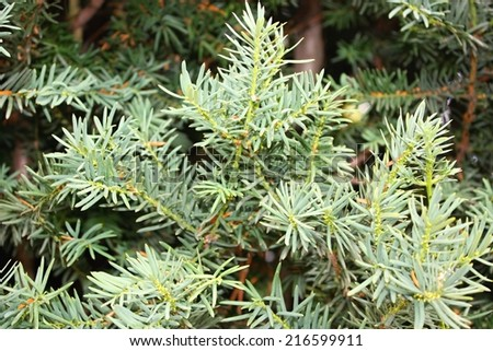 Taxus baccata - stock photo