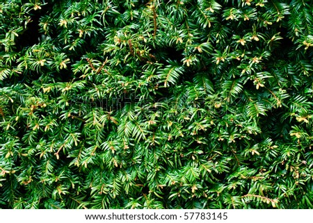 Taxus baccata. Green branches of yew tree - stock photo