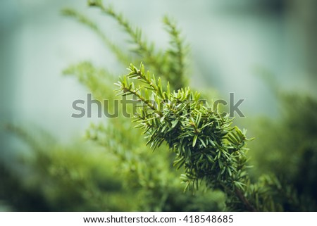 Taxus (Yew tree) in the garden. Selective focus. Shallow depth of field. Toned image. - stock photo