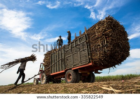 TAY NINH, VIETNAM. NOVEMBER 30, 2013. A view of people loading sugar cane on truck in tay ninh, vietnam.