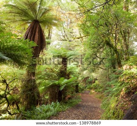 Te Urewera Treks.   Temperate rain forest with  Fern trees, Te Urewera National Park, North Island, New Zealand - stock photo