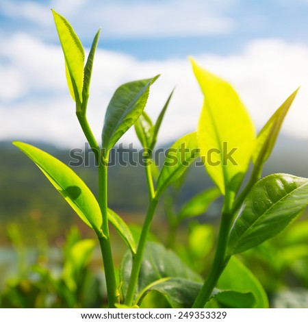 Tea (Camellia sinensis) top leaves on the blue sky background