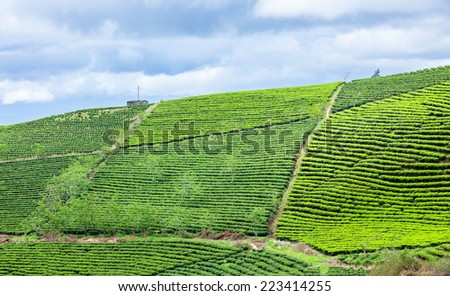 Tea farm at Da Lat, Vietnam. Da lat is one of the best tourism city in Vietnam. Dalat city is Vietnam's largest vegetable and flowers growing areas. - stock photo