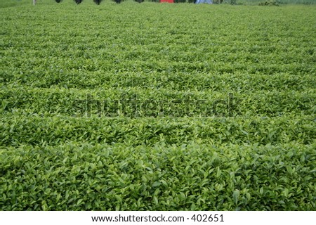Tea farm in the outskirts of Tokyo, Japan. - stock photo