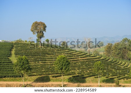 Tea farm on the mountain in north of thailand - stock photo
