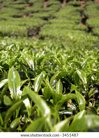 Tea Farm with Blue Sky - stock photo