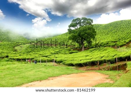 Tea field in munnar kerala, India - stock photo