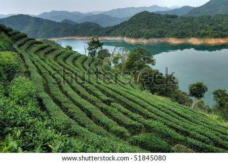 Tea field with river and mountain in rural. - stock photo