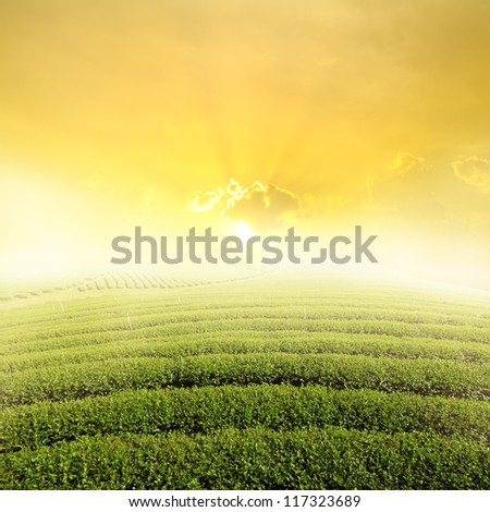 Tea fields and Sun Sky for background - stock photo