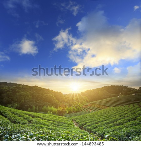 tea garden for adv or others purpose use - stock photo