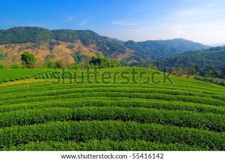 Tea garden in Chiangrai Thailand - stock photo