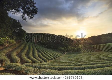 tea garden sunset - stock photo