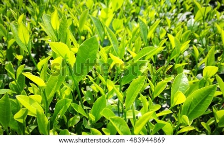 Tea leaf on tea hill under the sunlight of spring