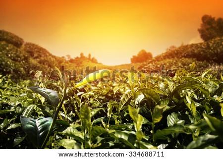 Tea Leaf with morning golden sunlight. Tea Plantations at Cameron Highlands Malaysia.  - stock photo