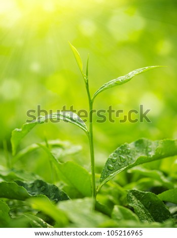 Tea Leaf with morning golden sunlight, water dews on leaf - stock photo