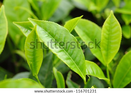 Tea Leaf with Plantation in the Background - stock photo