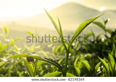 Tea Leaf with Plantation in the Background (Morning) - stock photo