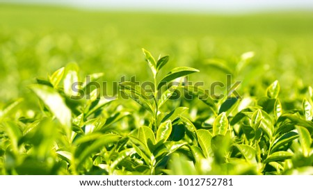 Tea leaves at a plantation in the farm