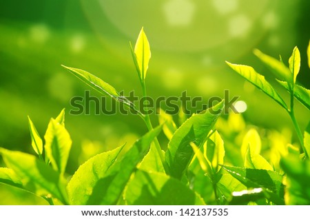 Tea Leaves. Close up fesh green tea leaves with morning flare. - stock photo