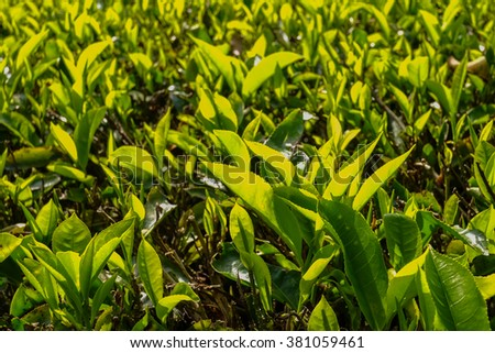 Tea Leaves in the Tea Plantation - Cameron Highlands, Malaysia