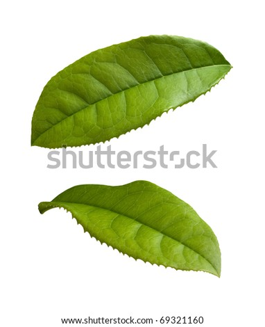 Tea Leaves isolated on a white background - stock photo