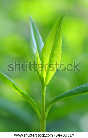 Tea leaves. Macro with shalow DOF. - stock photo