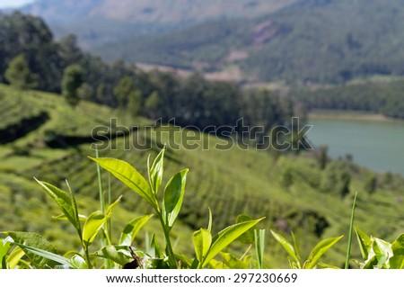 Tea leaves on tea plantation valley background in Munnar. Kerala. India - stock photo