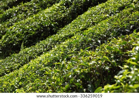 Tea leaves under the hot sun - stock photo