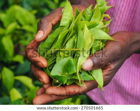 Tea picker holding in her hands freshly picked tea leaves - stock photo