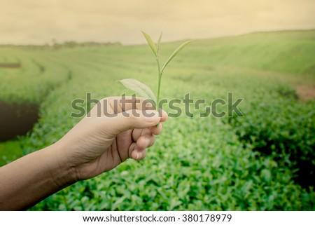 tea picking hand, Changrai Thailand. - stock photo