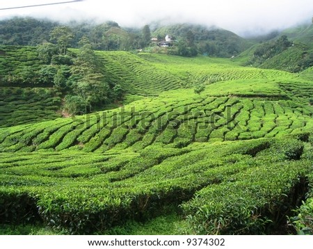 Tea Plantation and cloud in Cameron Highland - stock photo