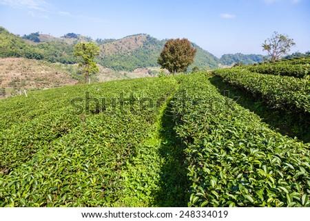 Tea plantation at Doi Mae Salong, Chiang Rai, Thailand - stock photo