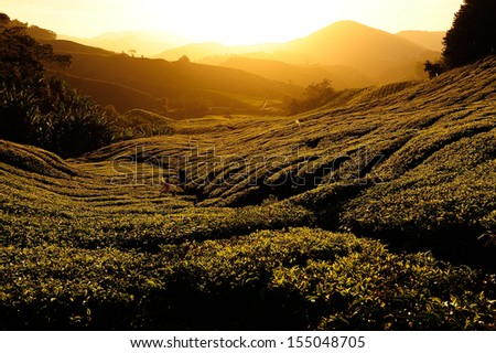 Tea Plantation at Sunrise  - stock photo