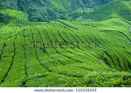 Tea Plantation, Cameron Highland - stock photo