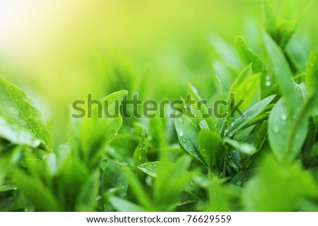 Tea plantation close up background after the rain - stock photo