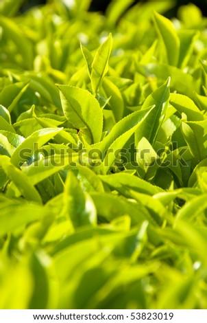 tea plantation closeup - stock photo