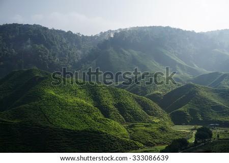 Tea Plantation Farm at Cameron Highland - stock photo