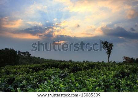 Tea plantation field at sunset - stock photo