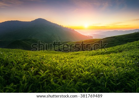 Tea plantation in Cameron highlands, Malaysia - stock photo