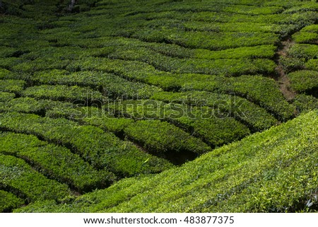 Tea plantation in Cameron highlands,mountain hills in Malaysia