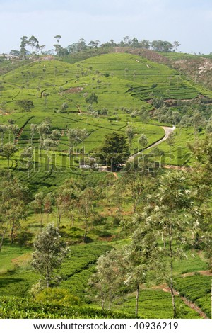 Tea plantation in Ceylon - stock photo