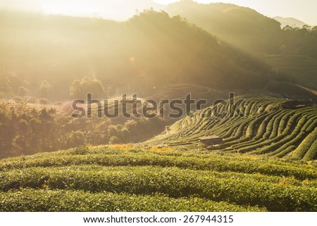 Tea Plantation in Chaing Mai, North of Thailand - stock photo